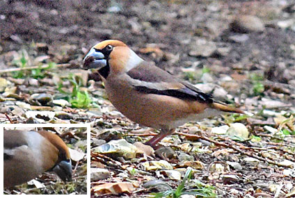 hawfinch image